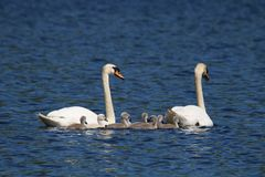 Mute Swans swimming with Cygnets stock photo
