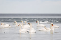 Mute Swans Royalty Free Stock Photo
