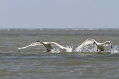 Mute swans taking flight from water surface Royalty Free Stock Photography