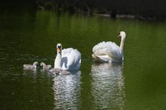 Mute swans with thier cygnets royalty free stock photos