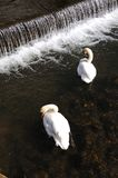 Mute swans by weir. Stock Photos