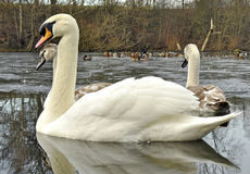 Mute Swans In Winter Stock Photography