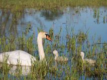 Mute swans and young family Royalty Free Stock Photos