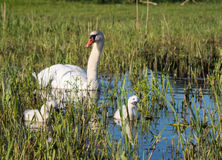 Mute swans and young family Stock Photography