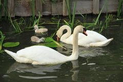 Mute swans with young ones. Stock Photos