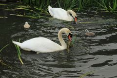 Mute swans with young ones. Royalty Free Stock Images