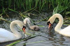 Mute swans with young ones. Stock Image