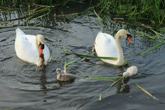 Mute swans with young ones. Stock Images