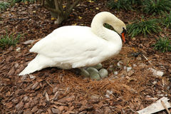 Mute white swan and eggs Royalty Free Stock Photography
