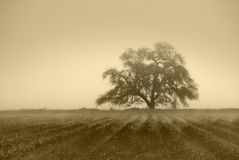 Muted Oak Tree. Muted sepia oak tree in Winter fog, cultivated farm land in foreground with fog in furrows stock photo
