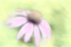 Muted Pastel Soft Echinacea Coneflower. This is a coneflower image that I softened and muted digitally for a background image royalty free stock photo