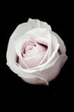 Muted Pink Rose Stock Photography
