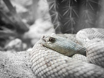 Muted Rattlesnake with Cactus. Portrait of a light colored daimondback rattlesnake in the desert Royalty Free Stock Photography
