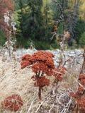 Mutellina Ligusticum в октябре Стоковые Фотографии RF