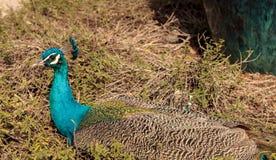 Muticus maschio blu e verde del pavone del pavone Immagine Stock