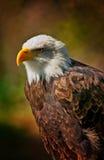 Mutiges Eagle mit dunklem Hintergrund Lizenzfreies Stockfoto