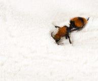 Mutillidae, velvet ant. On white sand Royalty Free Stock Photos