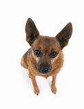 Mutt. A chihuahua mix sitting down on an isolated white background Stock Image