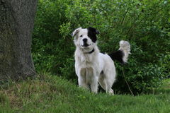 Mutt. Dog standing by tree barking and wagging its tail Stock Photography