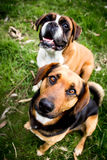 Mutt dogs Stock Images