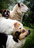 Mutt dogs Royalty Free Stock Image