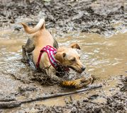 Mutt playing in the mud. A mutt having fun in a mud puddle Stock Photography