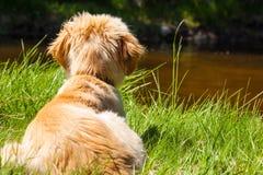 Mutt of Irish Setter and the Swiss Shepherd Royalty Free Stock Photo