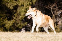 Mutt of Labrador and German Shepherd Stock Images