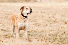 Mutt of Labrador and German Shepherd Stock Photo