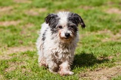 Mutt of Maltese dog. Maltese dog running on the green ground Royalty Free Stock Photography