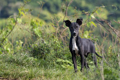 Mutt mongrel dog of the Cuban farmers, Hanabanilla,Cuba Royalty Free Stock Image