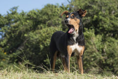 Mutt mongrel dog of the Cuban farmers, Hanabanilla,Cuba Stock Images