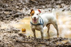 Mutt in a mud puddle. A mutt standing in a puddle of water with his ball Stock Photography