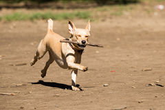 Mutt playing fetch stick. At Ibirapuera Park royalty free stock photo