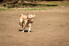 Mutt playing fetch stick. At Ibirapuera Park royalty free stock images