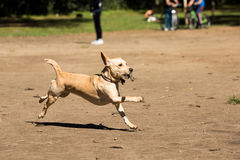Mutt playing fetch stick. At Ibirapuera Park royalty free stock photography