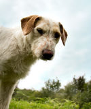 Mutt Royalty Free Stock Images