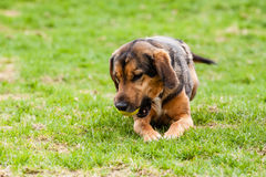 Mutt of puppy german shepherd dog Royalty Free Stock Images