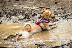 A mutt resting. In a puddle of mud Stock Image