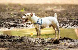 A mutt standing in a puddle. Of mud with his ball Royalty Free Stock Photo