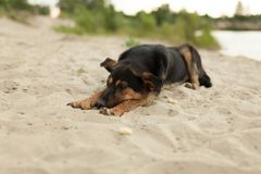 Mutt szczeniak kłaść na piasku przy psią plażą zdjęcia royalty free