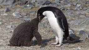 Mutter Adelie-Pinguin, der ihr Baby einzieht Lizenzfreies Stockfoto