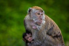 Mutter-Affe, der ihr Baby stillt Lizenzfreie Stockbilder