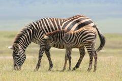 Mutter Afrika-Serengeti und Schätzchen von zebre Stockfoto