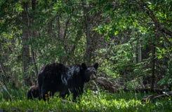 Mutter-Bär, der über ihr CUB aufpasst stockbilder