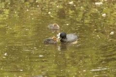 Mutter-Blässhuhn, das ein Baby-Blässhuhn auf einem See einzieht lizenzfreies stockfoto