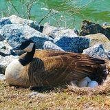 Mutter Duck und ihre Eier Stockfotografie