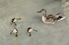 Mutter Duck und Schätzchen, die schwimmen Stockfotografie
