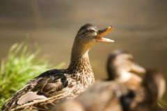 Mutter-Ente Lizenzfreie Stockbilder