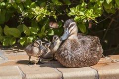 Mutter-Ente mit Baby-Enten Stockbild
